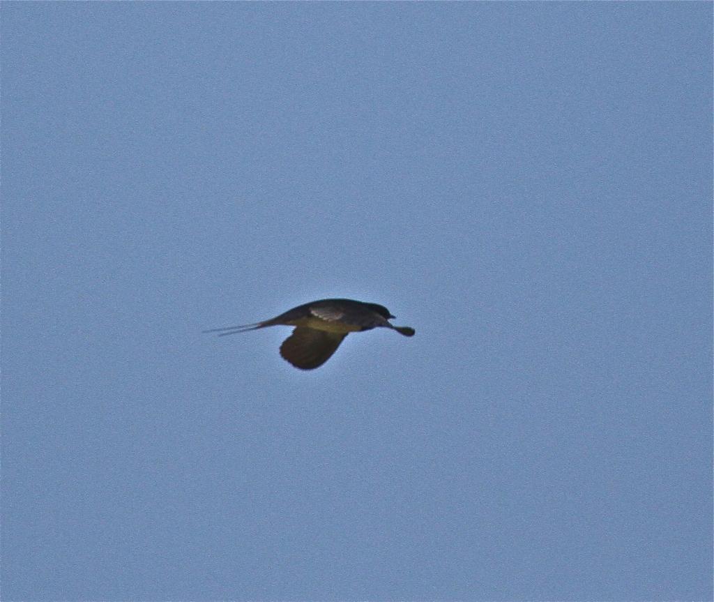 Pipe-smoking swallow