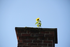 A Sunflower in a Parwich Chimney