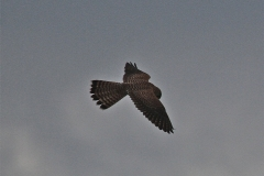 A Kestrel in flight