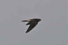 A late swallow on the Broads