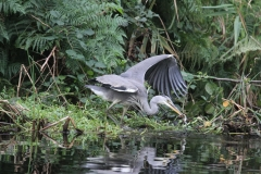 A heron with a catch