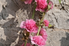 Hollyhock against the Peak District limestone