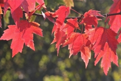 Fiery Red Autumn leaves