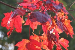 Fiery red autumn leaves in Parwich