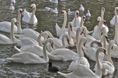 Mainly swans, at Stratford