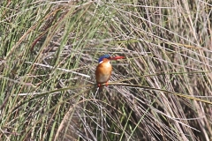 African Kingfisher