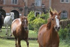 Shiwa Horses