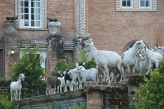 Shiwa goats, trespassing