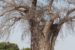 A Baobab 'upside down tree'