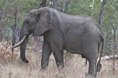 A Zambian Elephant