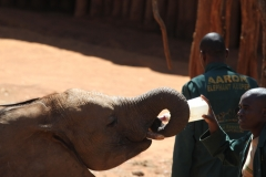 Feeding milk to the baby elephantsI