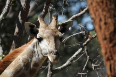 A curious giraffe